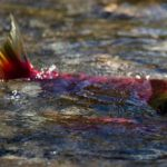 Whirling disease in the Bow River